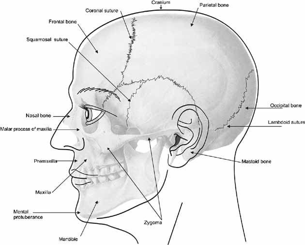 Cheek Bones Anatomy Gallery Human Body Anatomy